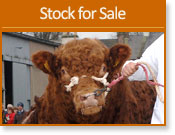 Current Cattle For Sale