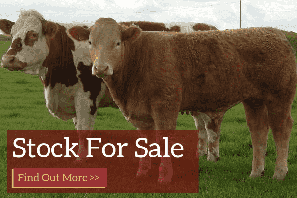Luings Cattle Society Stock For Sale
