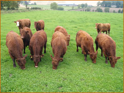 Luing Steers